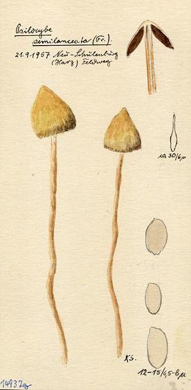 Psilocybe semilanceata by Konrad Schieferdecker.