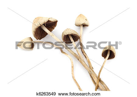 Stock Photograph of psilocybe semilanceata k6263549.
