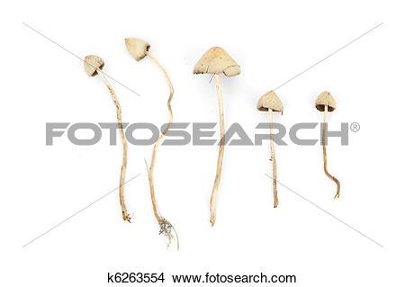 Stock Photo of psilocybe semilanceata k6263554.