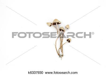 Stock Photography of psilocybe semilanceata k6337930.