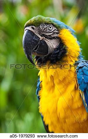 Stock Photo of Parrot. Psittaciforme Bird. Psittacidae. Antonio.