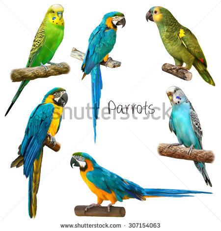 Green and blue parakeet