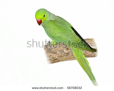 Psittaculinae Stock Photos, Images, & Pictures.