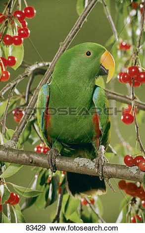 Stock Photograph of Eclectus Parrot on a branch / Eclectus roratus.