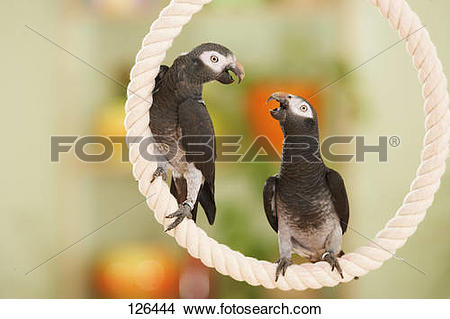Stock Photo of Timneh African Grey parrots on rope / Psittacus.