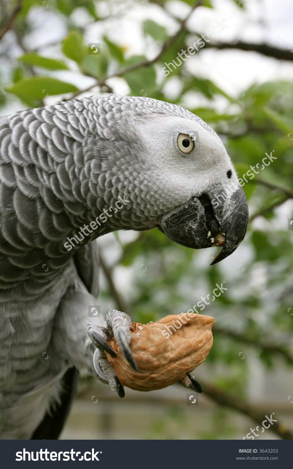 African Grey Parrot(Psittacus Erithacus) Eating The Nut. Stock.