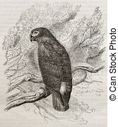 Grey parrot Illustrations and Clipart. 139 Grey parrot royalty.