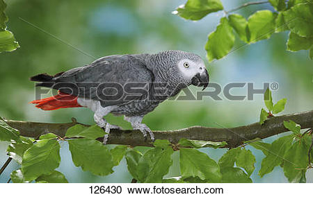 Stock Photography of Congo African Grey parrot on branch.