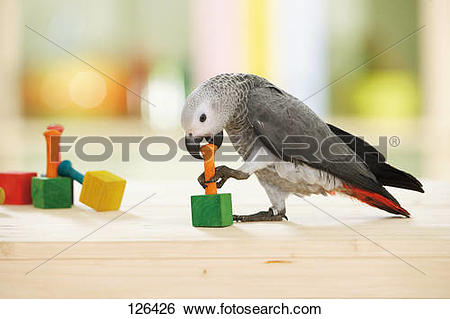 Stock Images of Congo African Grey parrot.