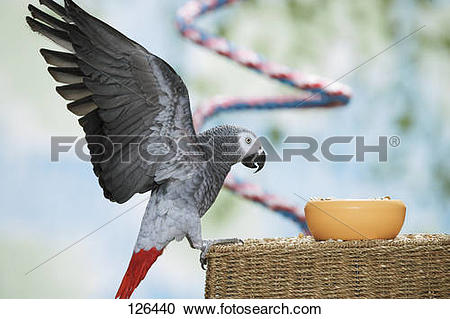 Stock Photography of Congo African Grey parrot.