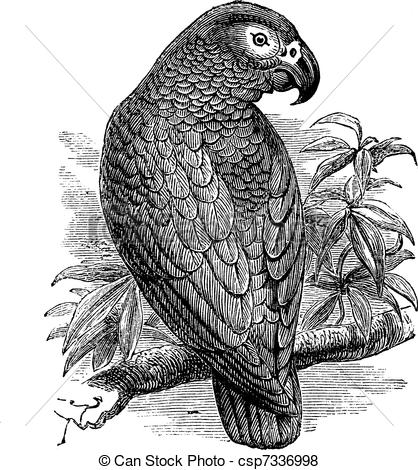 Vector of African Grey Parrot or Psittacus erithacus vintage.