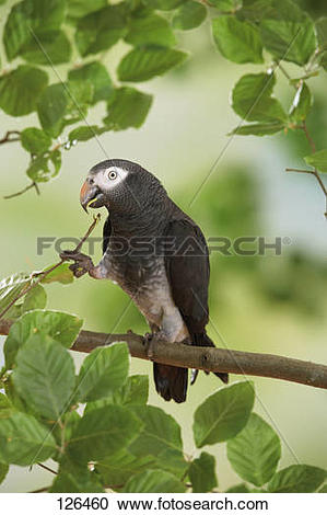 Stock Photography of Timneh African Grey parrot on branch.