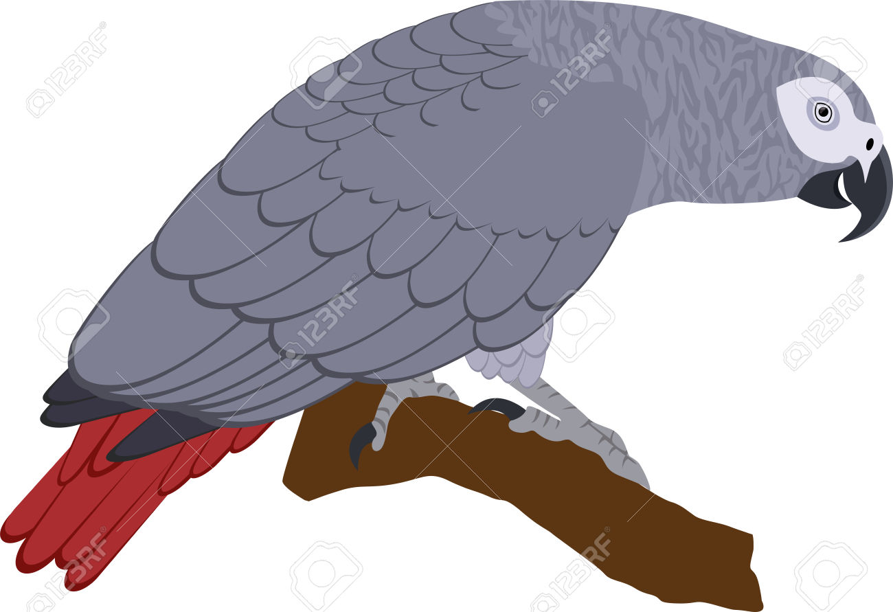 African Grey Parrot Psittacus Erithacus Royalty Free Cliparts.