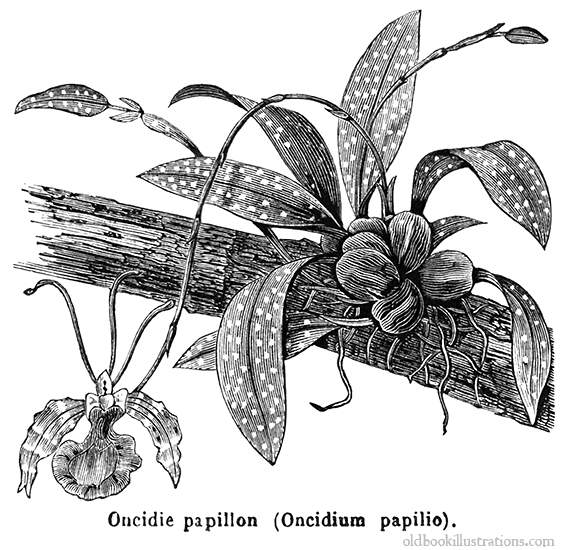 Illustration showing Psychopsis papilio, or butterfly orchid, also.