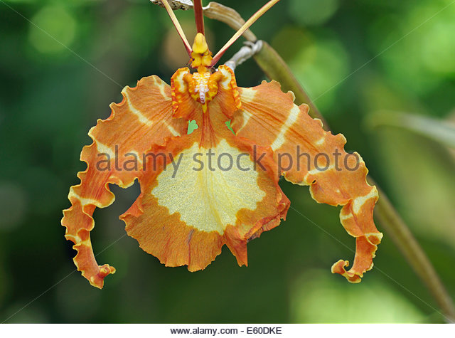 Psychopsis Stock Photos & Psychopsis Stock Images.