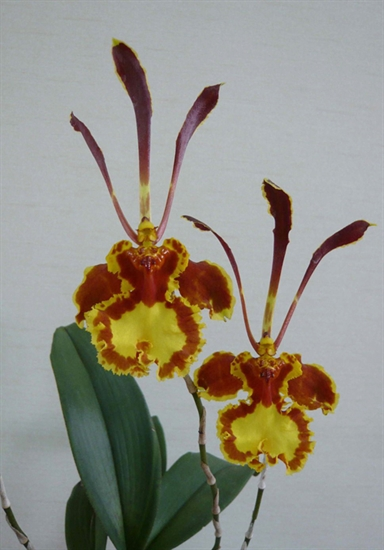 Psychopsis Mariposa presented by Orchids Limited.