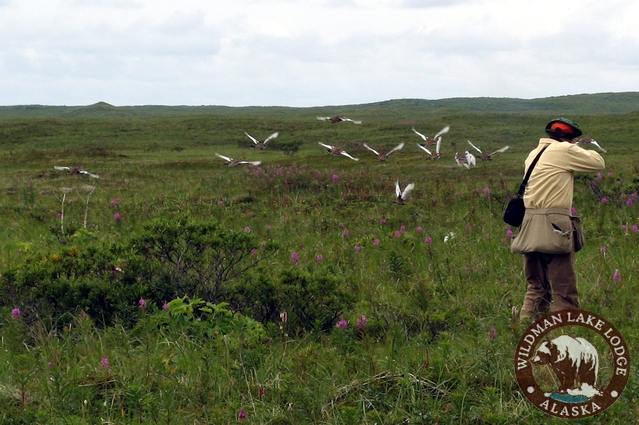 Alaska wing shooting, Willow Ptarmigan at Wildman Lake Lodge on.