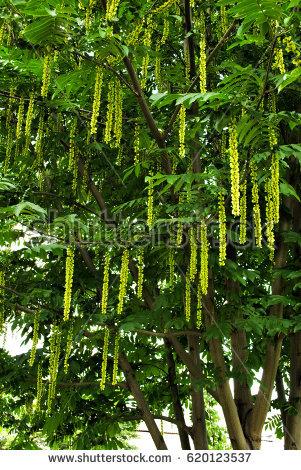 Juglandaceae Stock Images, Royalty.