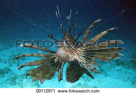 Stock Photography of Juniors, Pteroidae, Pteroinae, Pterois, ahead.