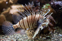 Pteroinae Stock Photos, Images, & Pictures.