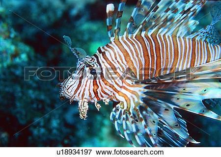 Picture of Lionfish, Pterois volitans, Similan Islands, Thailand.
