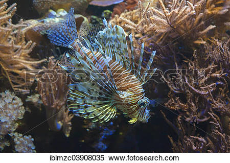 """Stock Image of """"Red Lionfish (Pterois volitans) in an aquarium."""