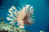 Picture of Lionfish / Pteroini 81067.
