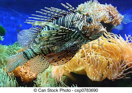 Stock Photography of Lion fish.