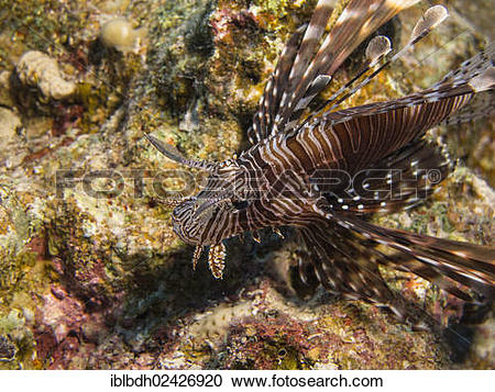 """Stock Photography of """"Common Lionfish or Devil Firefish (Pterois."""