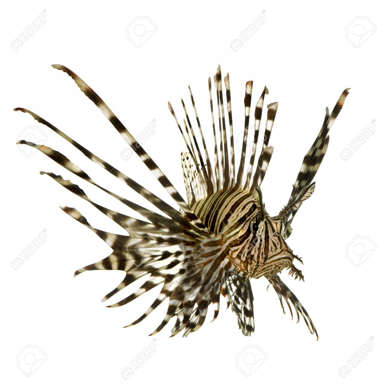 Red Lionfish.