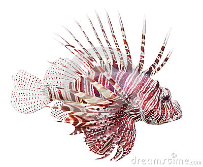 Two Red Lionfish (Pterois Volitans) Royalty Free Stock Image.