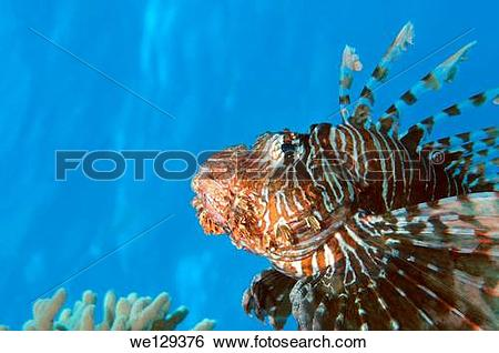 Stock Images of Red lionfish (Pterois volitans) Red Sea, Egypt.