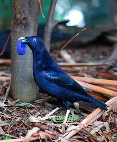 A male satin bowerbird needs a swanky pad to land the perfect mate.