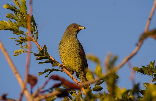 Free photo Satin Bowerbird Bird Ptilonorhynchus Violaceus.