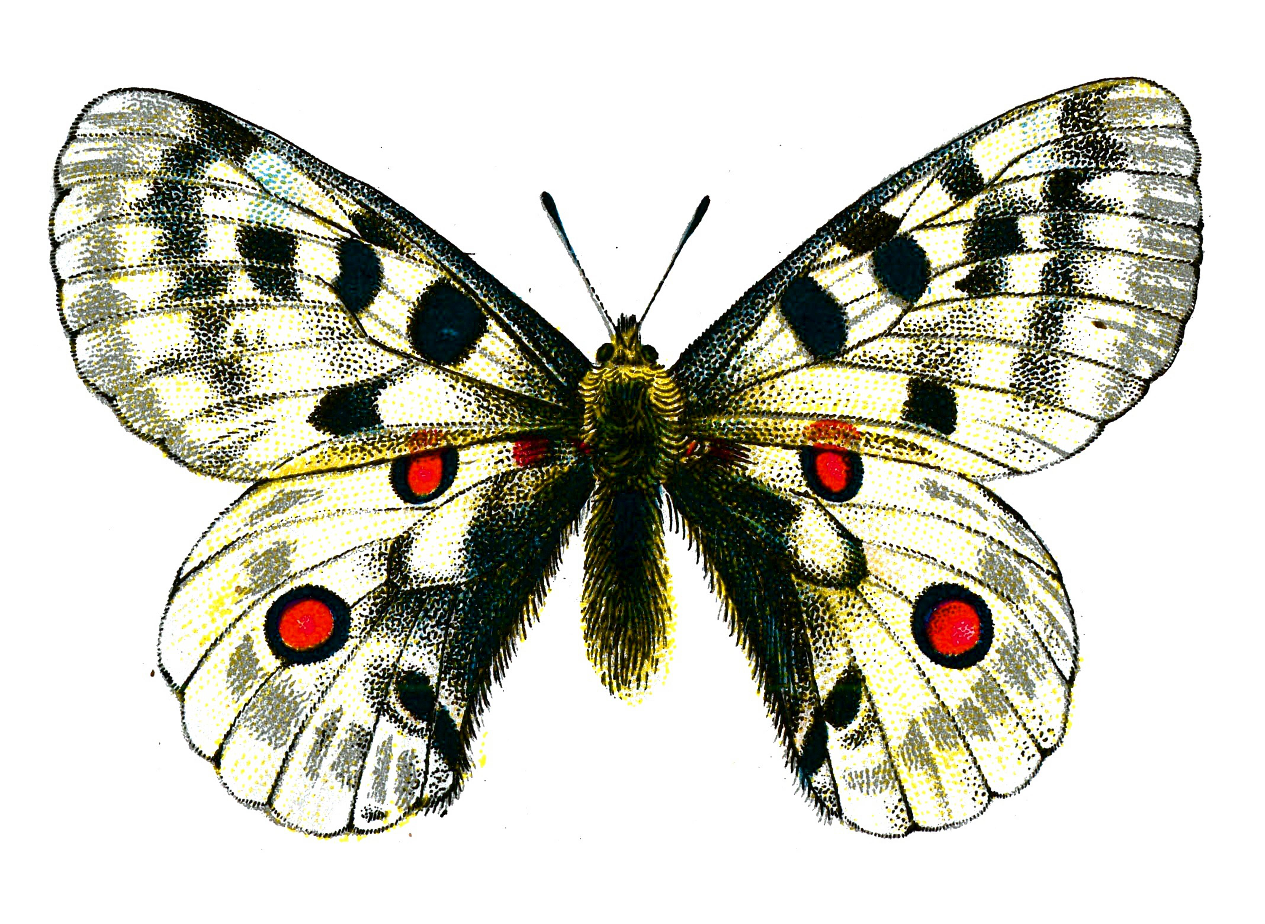 Public domain butterfly clipart.