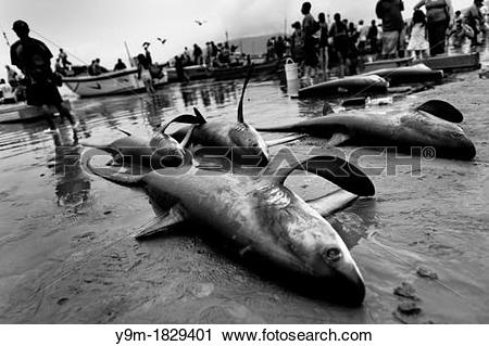 Stock Photography of Dead thresher sharks lie on the beach of.