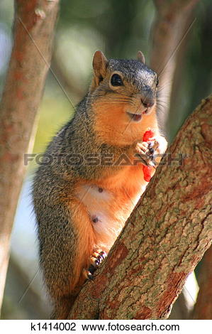 Stock Photo of Squirrel Holding Cheese Puff k1414002.