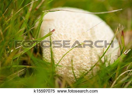 Stock Image of puffball mushroom k15597075.