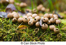 Puffballs Stock Photos and Images. 522 Puffballs pictures and.