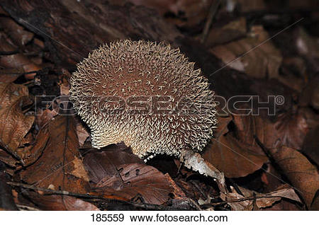Stock Photograph of Spiny Puffball, Spring Puffball (Lycoperdon.