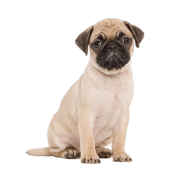Cute Pug Puppy transparent PNG.