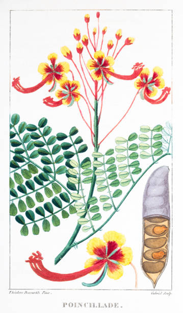 Caesalpinia Pulcherrima Clip Art, Vector Images & Illustrations.