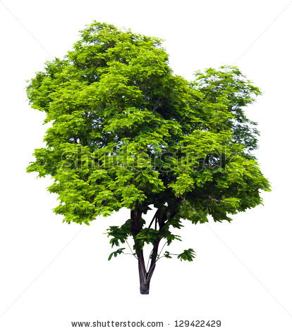 Caesalpinia Pulcherrima Tree Isolated On White Background Stock.