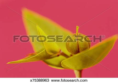 Stock Photo of Poinsettia (Euphorbia pulcherrima) beginning to.