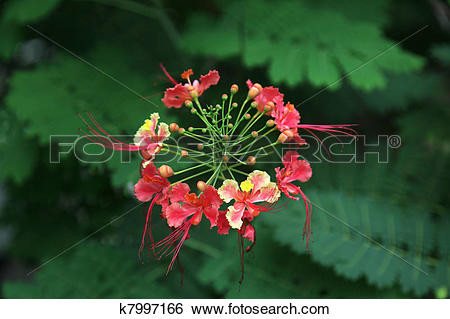 Caesalpinia Pulcherrima Clip Art.
