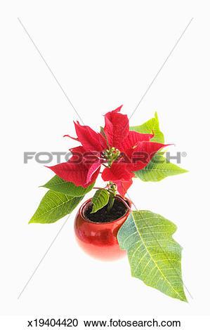 Stock Photography of Poinsettia (Euphorbia pulcherrima) x19404420.