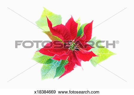 Stock Photograph of Poinsettia (Euphorbia pulcherrima) x18384669.