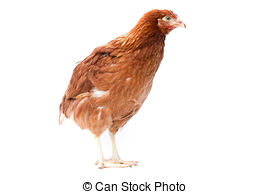 Pullet Images and Stock Photos. 755 Pullet photography and royalty.