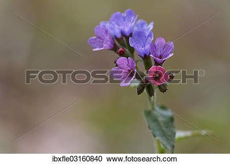 """Stock Photography of """"Lungwort , Common Lungwort or Our Lady's."""
