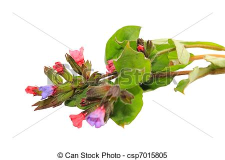 Stock Images of Pulmonaria obscura.